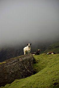 IJslandse koe kijkt uit over haar velden