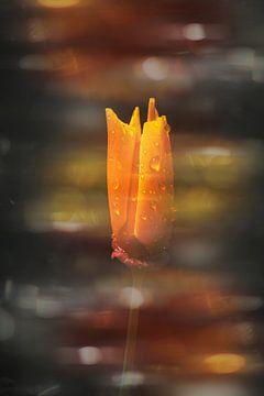 een half open gouden papaver met regendruppels. van Ribbi The Artist