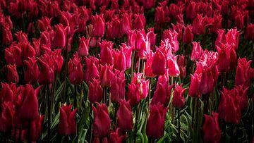 Tulpen in het licht van Paula van der Post