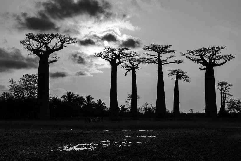 Baobab sunset in zwart-wit van Dennis van de Water