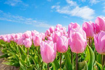 Rosa Tulpen wachsen in einem Feld während der Frühlingszeit von Sjoerd van der Wal