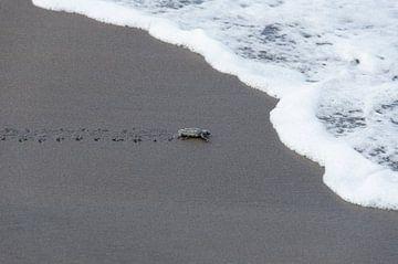Net uit ei gekomen schildpadje op het strand bijna in de oceaan von Maurits Kuiper