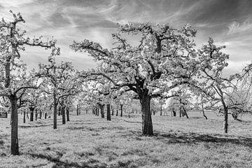 Blühender Obstgarten von Tony Buijse