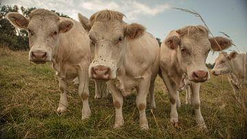 franse koeien van