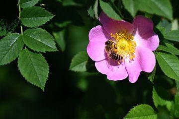 Een honingbij op een wilde roos van Ulrike Leone