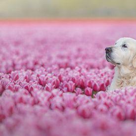Golden Retriever zwischen den rosa Tulpen von Desirée Couwenberg