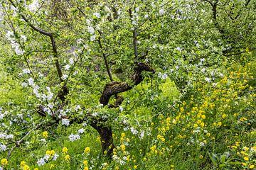 Bloesem aan fruitboom van Carin IJpelaar