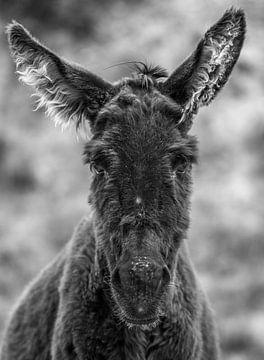 Esel - Iruya (Argentinien) von Vincent Vink
