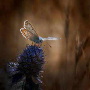 Pimpernelblauwtje op een distel van