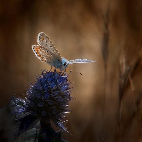 Pimpernelblauwtje op een distel