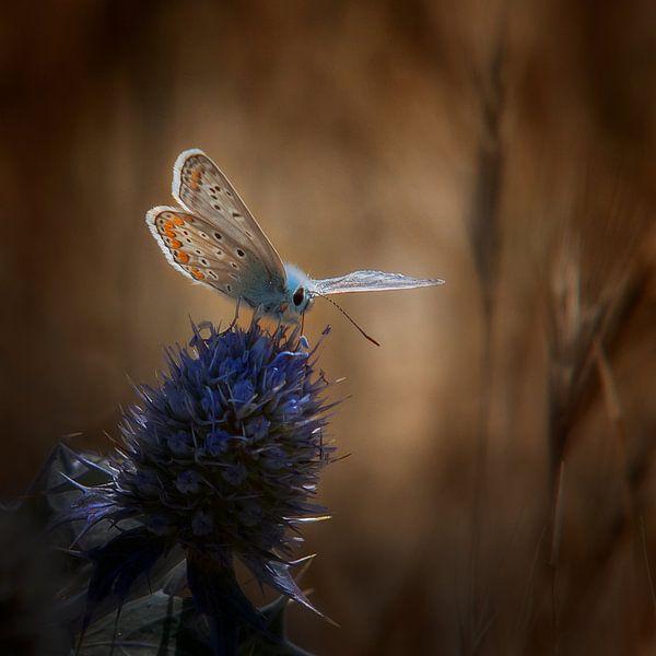 Pimpernelblauwtje op een distel van Ruud Peters