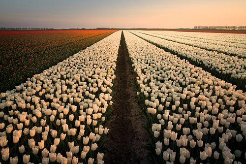 Hollandse tulpen zonsondergang van Claire Droppert