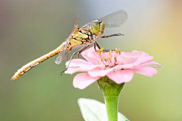 Steenrode Heidelibel op bloem van Jeroen Stel