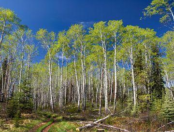 Berkenbomen in de lentezon, Canada van Rietje Bulthuis