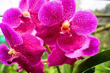 pinke Orchidee in Thailand von Babetts Bildergalerie