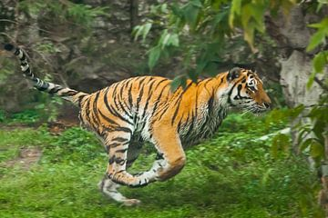 Schneller, schneller Lauf des Jägers - roter Blitz. Junger schöner Tiger springt geschickt auf grüne von Michael Semenov