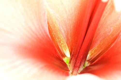 Red Amaryllis von Frits Vrielink
