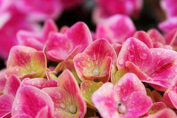 Roze hortensia met waterdruppels van Sanne Custers