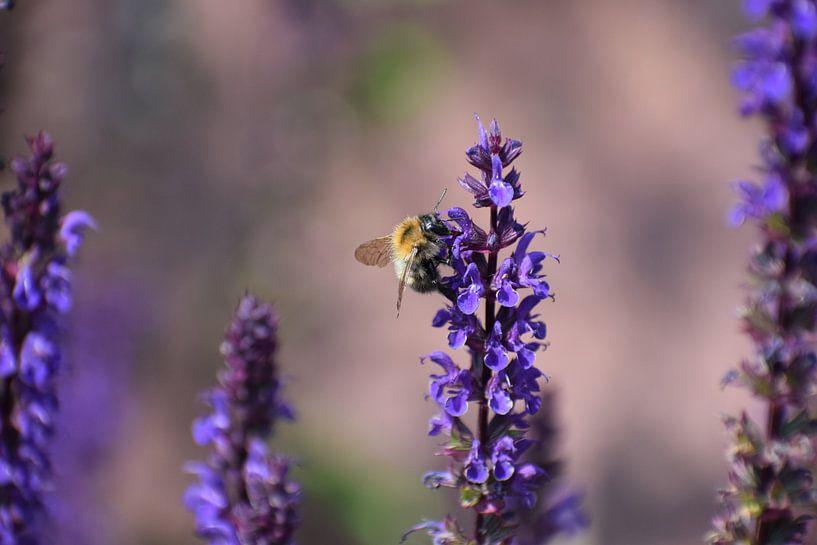 Biene auf Salvia von Roland van Tilborg