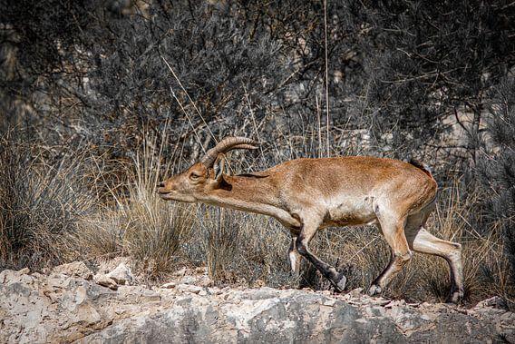 Gedreven steenbok drijft kudde voort in de bergen van Andalucia. Wout Kok One2expose