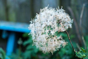 Uitgebloeide bloem van een hortensia in de tuin van Idema Media
