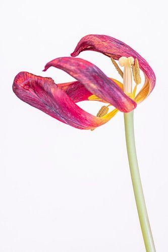 Kreukelige tulp 2,