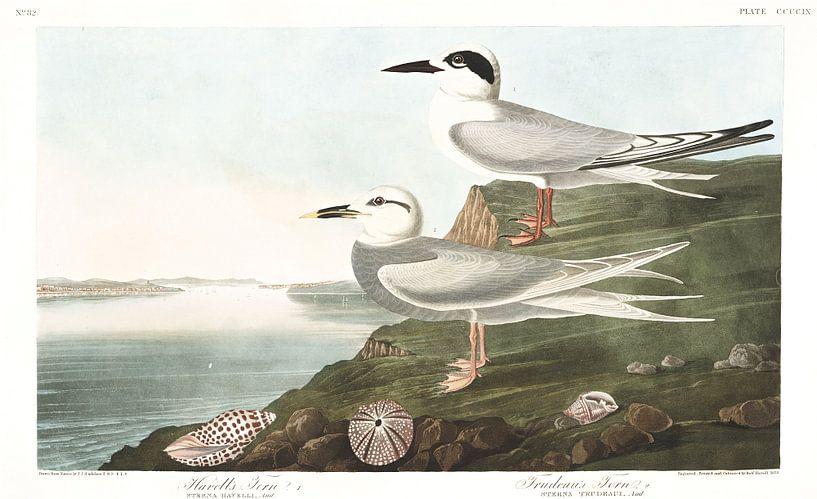 Forsters Stern van Birds of America