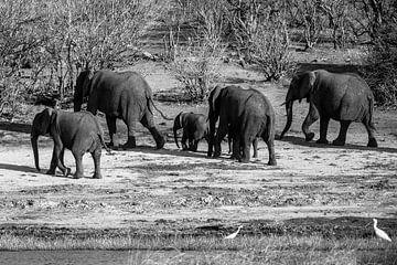 Olifanten in Chobe NP von Henri Kok