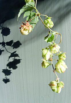 Hopplant in de zon (1) van joyce kool