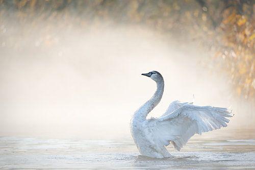 Zwaan met de vleugels wijd in de Brabantse Biesbosch