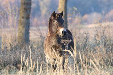 Exmoor pony op het Fochteloërveen van Karin van Rooijen