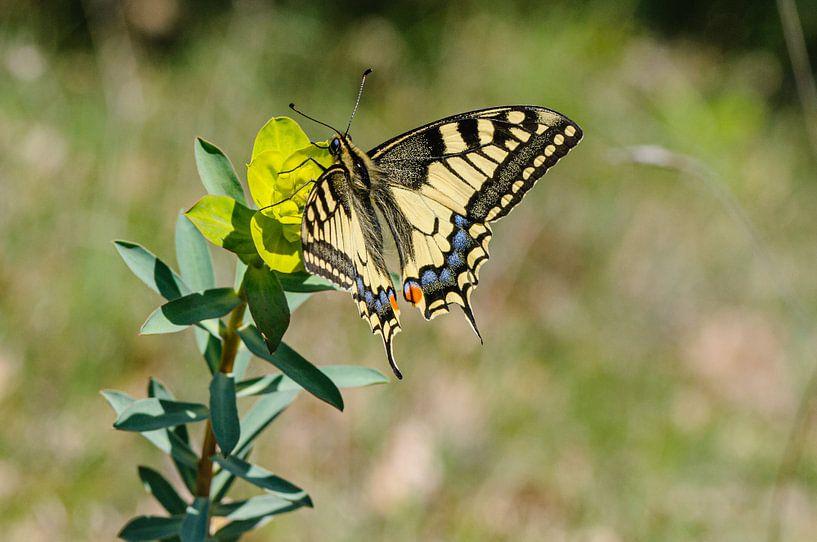 Vlinder.Koninginnepage,  Papilio machaon van Martin Stevens