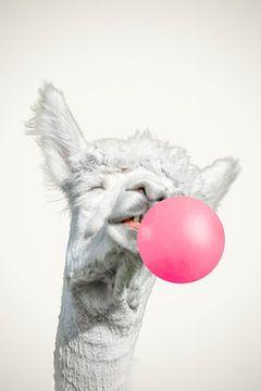 lachende alpaca lama met een flinke kauwgombal van John van den Heuvel