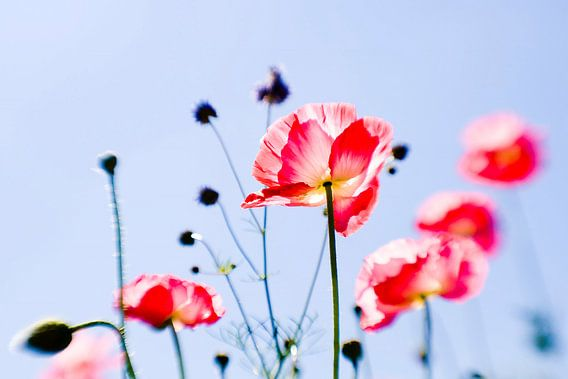Poppies together now