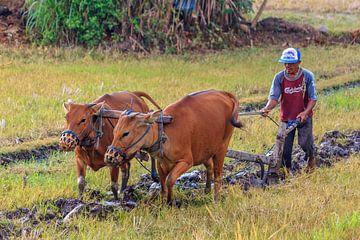 Het rijstveld omploegen von Stephan Neven