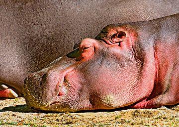 Young hippopotamus van Leopold Brix