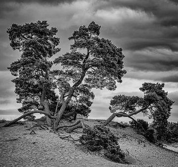 Tannenbäume auf Kototauchsand von Ed Dorrestein