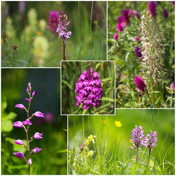 Wilde orchideeën van Ines Porada
