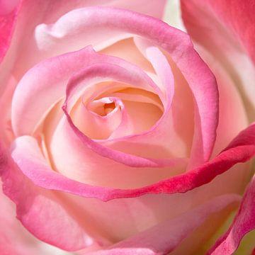 Rose in Nahaufnahme von Martin Hulsman