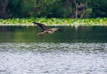 Fliegender Purpurreiher von Merijn Loch