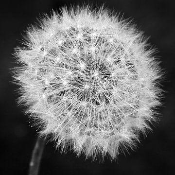 Pusteblume schwarzweiß von Julia Delgado