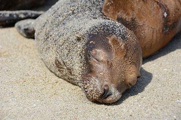 Zeehond op stand San Diego verenigde Staten Amerika van My Footprints
