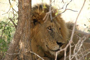 Leeuw in Zuid-Afrika van Johnno de Jong