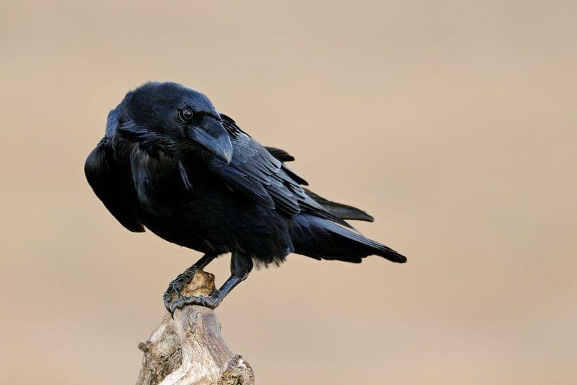 Common Raven  (Corvus corax), Odins bird, close up van wunderbare Erde