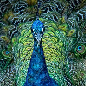 Proud Peacock van Vincent Willems