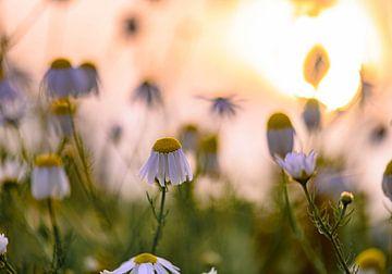 Sonnenlicht über den Gänseblümchen von Tania Perneel