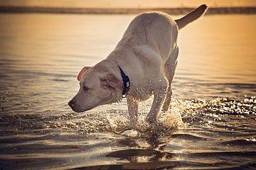 Mooie labrador retriever in het water van Kim Groenendal