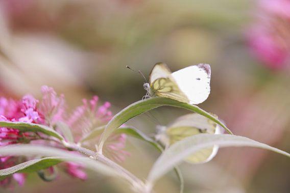 White butterfly van Mark Zanderink