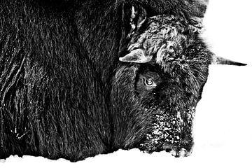 harschen nördlichen Moschusochse Nahaufnahme, mit Schnee bedeckt ist Winter und cold.Discolored, sch von Michael Semenov