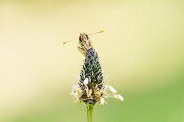 Schmetterling von